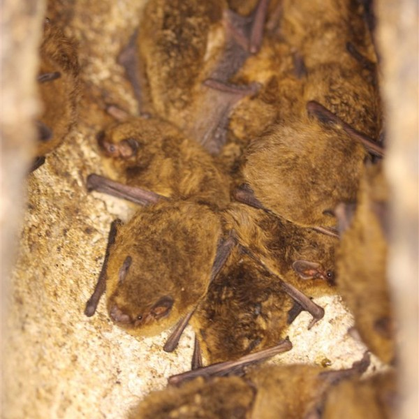 Soprano pipistrelles in a bat box at Calke Abbey