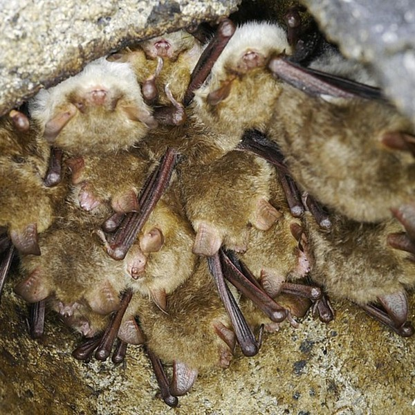 Natterer's bats in bat box at Hilton Gravel Pits