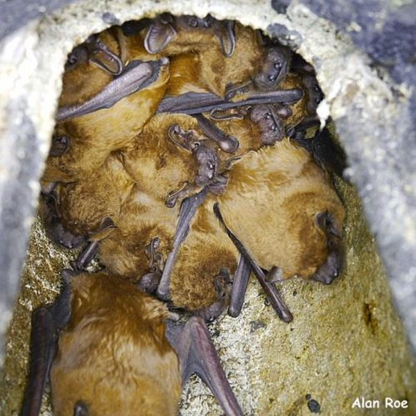 Noctule bats in a bat box