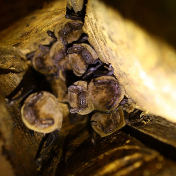 Leisler's bats in wooden hibernation box